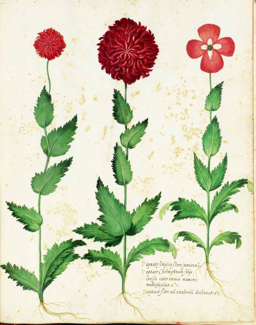 Ode to the carnation natures bastards katarina thorsen botanical flower carnation italian 13 biocorpaavc
