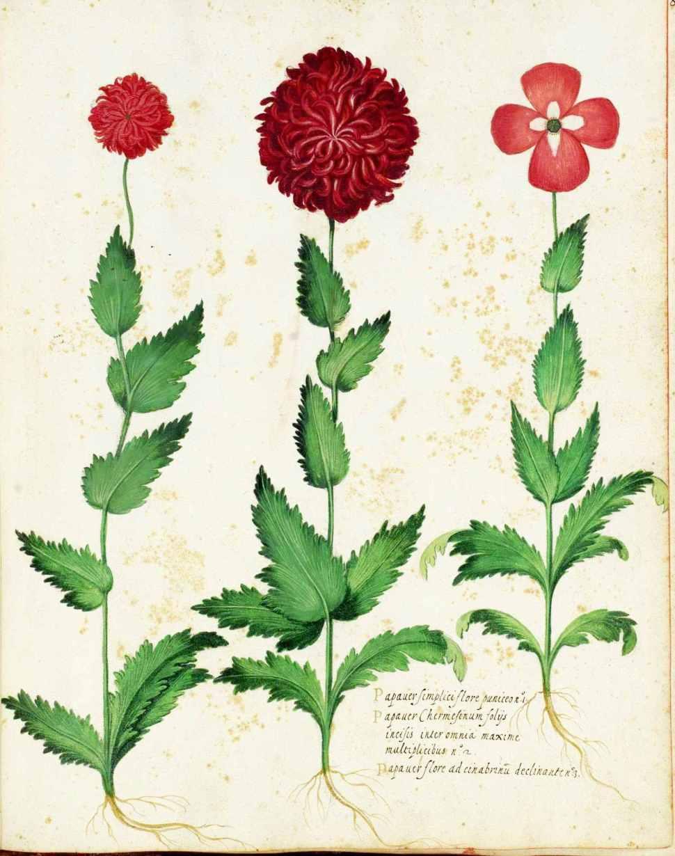 botanical-flower-carnation-italian-13