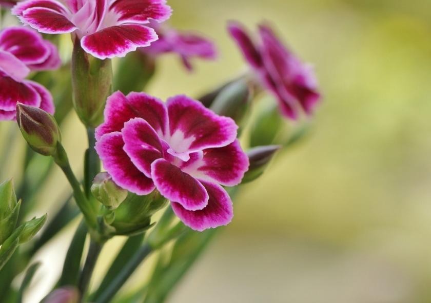 carnation-393259_960_720
